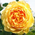 Rosa_Golden_Celebration