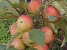 Сорт яблони аленушкино