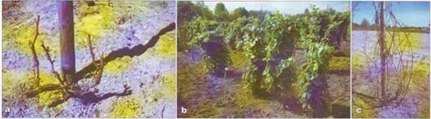 Формировка и обрезка виноградников