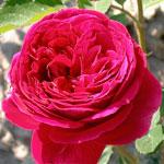 rosa_falstaff