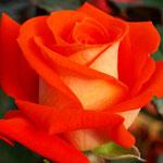 rosa_verano