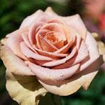 rose_amnesia