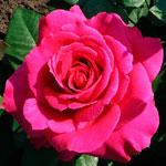 rose_big_parpl