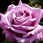 rose_blue_parfum