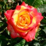 rose_frandli