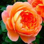 rose_pat_ostin