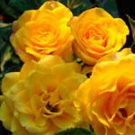 sprei_yellow