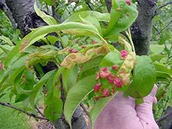 Кучерявость персика