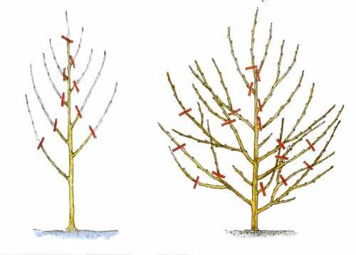 Обрезка персика 1 -2 год