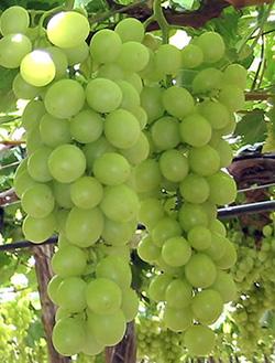 Виноград сорт Белое Чудо