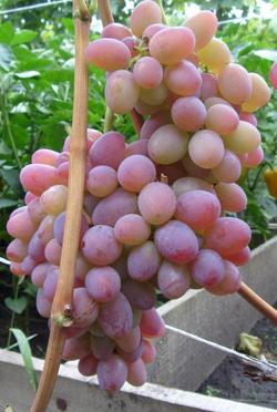 Виноград сорт Водограй