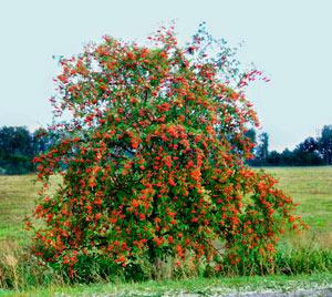 Рябина Плакучая с плодами