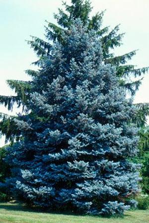 Picea-Erich-Frahm