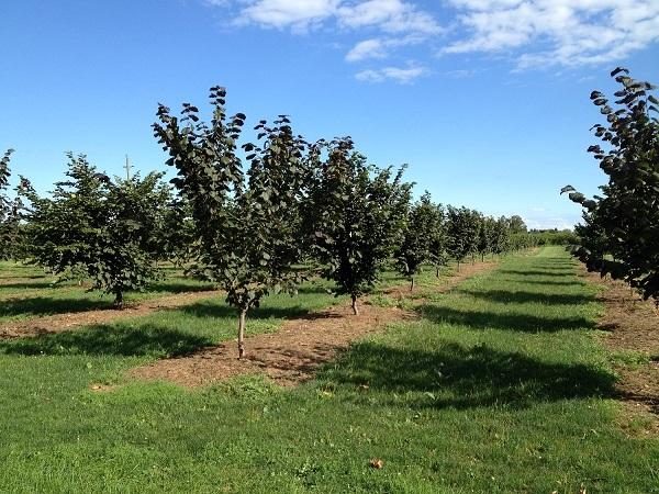 Плодовые деревья фундука в саду
